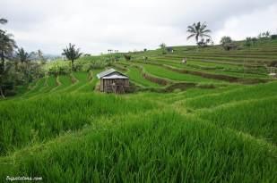 rice-terrace-jatiluwih-7