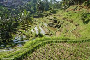 tegallalang-rice-terraces-2
