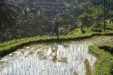 tegallalang-rice-terraces-5