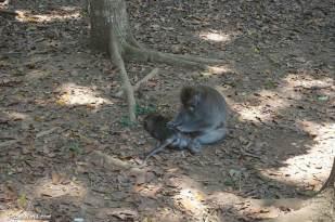 ubud-monkey-forest-3