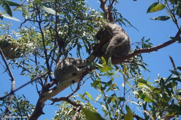 koalas-1