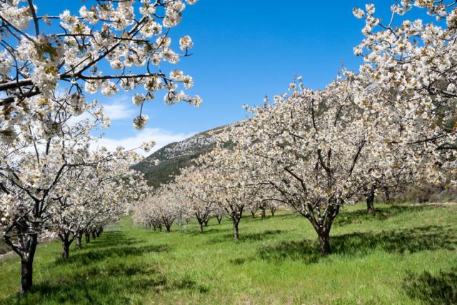 櫻花:赫爾特山谷|卡塞雷斯