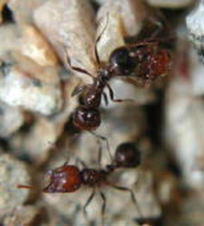 Thief Ants Solenopsis Molesta