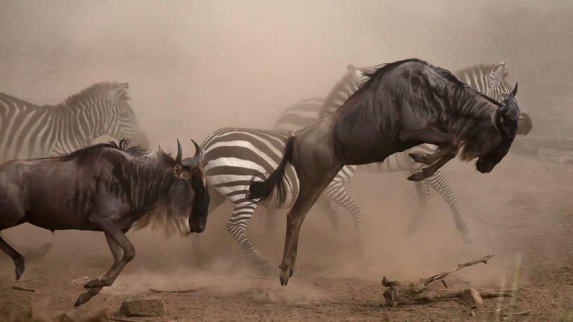 wildebeest migration season