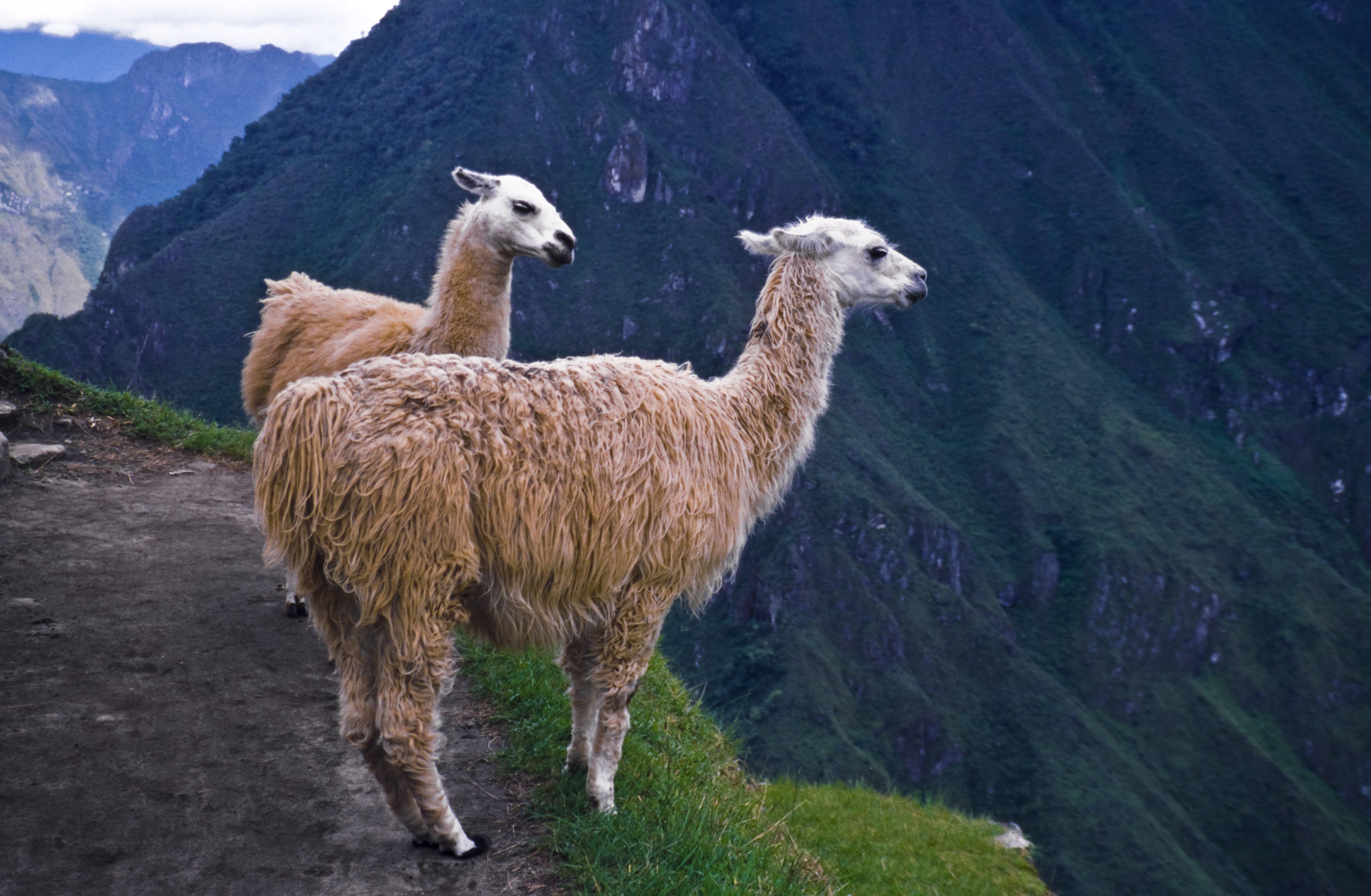 A Guide To Llamas Alpacas Guanacos And Vicunas