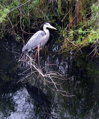 A huge blue heron in Everglads Park...so many beautiful birds in Florida!