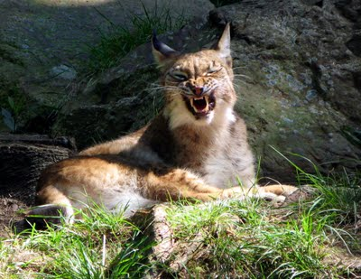 Image result for pics growling desert wildcat