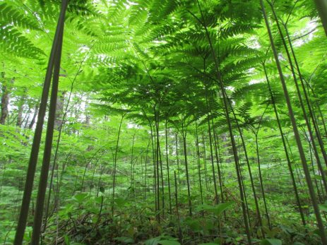 Ferns as seen from a chipmunk's view