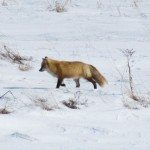 Fox in the snow beside the Peticodiac