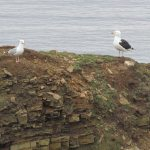 Gulls on Gull Island