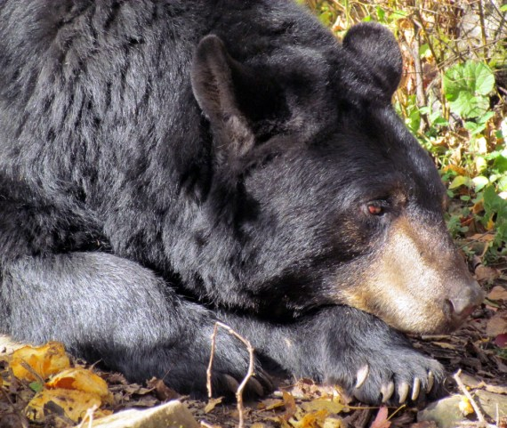 """The Black Bear. The Black Bears fur was shining in the sun and they enjoyed a little snooze after munching on their Halloween pumpkins. Bears are amazing; people have witnessed bears in the wild partaking in unusual behavior such as sitting still for long periods of time in one spot doing apparently nothing but staring at scenic vistas such as sunsets, lakes and mountains. There is very little explanation as to what use or purpose is in this behavior except in theorizing that the bears merely find such views to be aesthetic and """"beautiful"""". They live up to 30 years."""