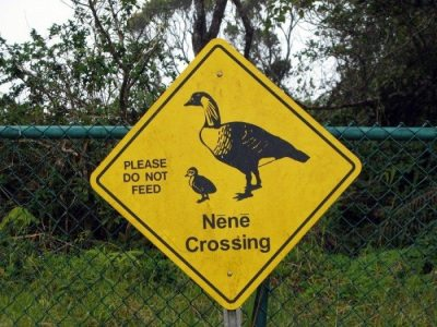 Watch out for the Nene! These Hawaiian State Birds are somewhat of the Sacred Cows of the Islands!