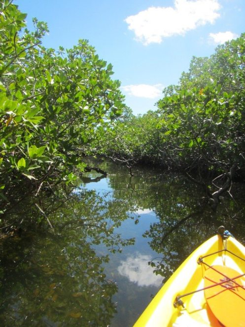 Kayak in the Pennekamp mangroves