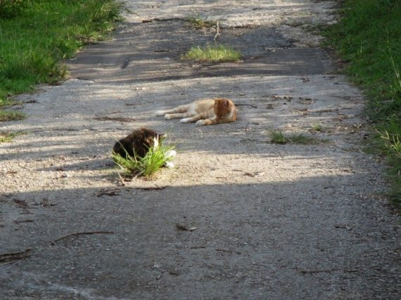 Two cats grooming themselves in the sun, on a farm next to Spittal Pond Preserve in Bermuda.