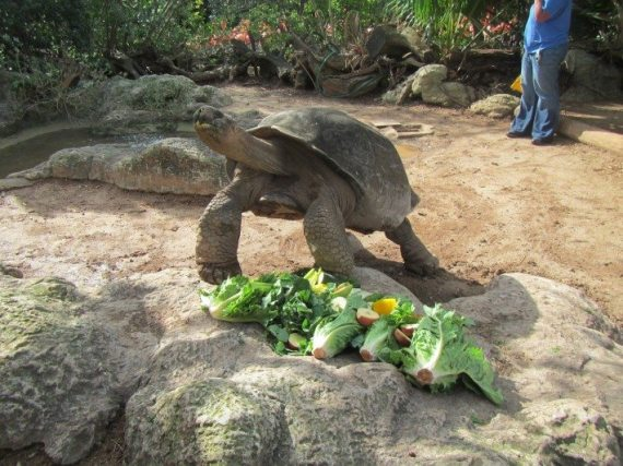 A 96 year old Galapagos tortoise at the Bermdua zoo eating his lunch with appetite.