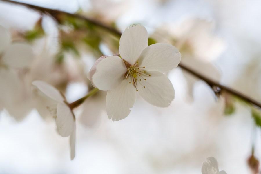 Kirsikkapuun kukka © Erik Johansson Flickr.com CC