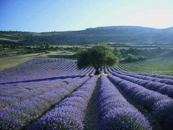 Ei ainoastaan valo, mutta myös se tuoksu... Laajat laventeli-viljelmät antavat oman leimansa Provencen maisemiin. © lavendeprovence