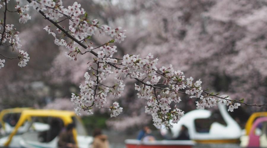 Inokashiran puisto on vierailun arvoinen jokaisena vuodenaikana. Kuva: nakashi, flickr.com, CC BY-SA 2.0.