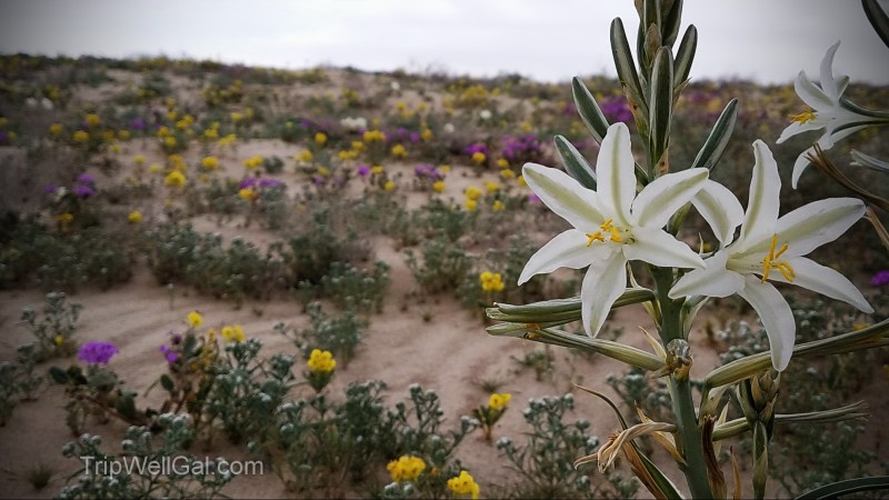 desert wildflower lily