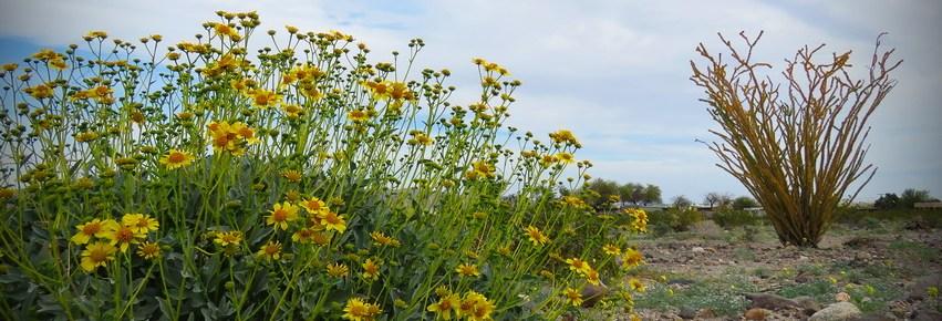 desert wildflowers and ocotillo