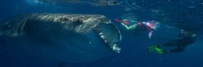 Whale shark women scuba dive