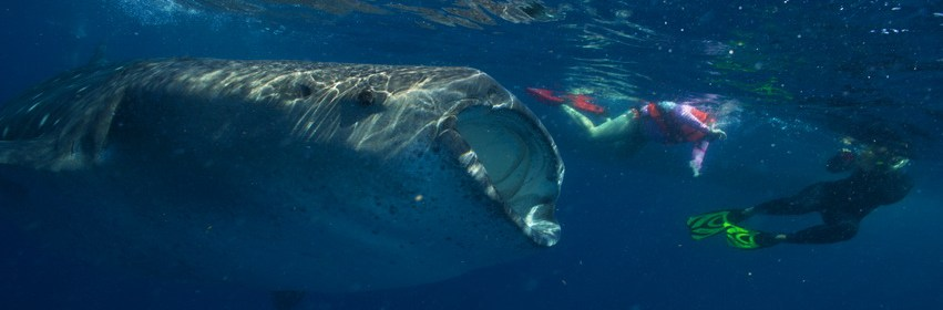 Whale shark women scuba dive