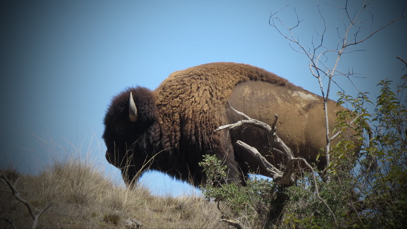 Buffalo sighting Catalina Island