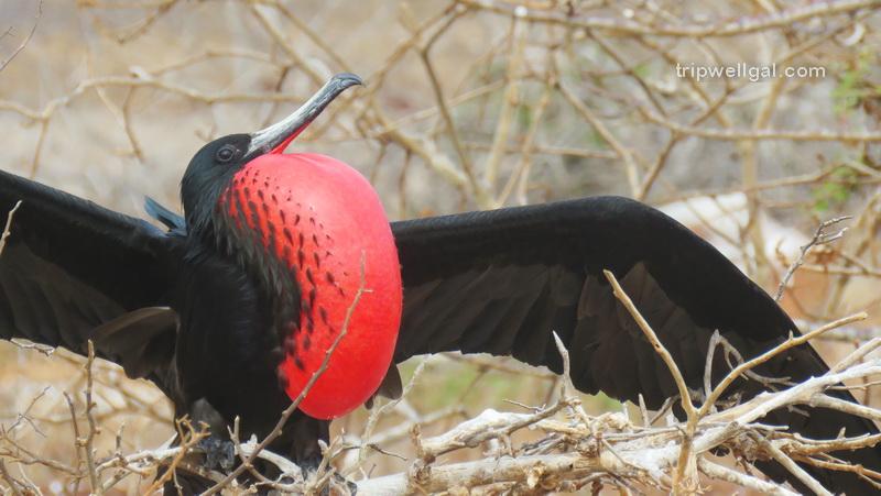 Frigate bird in courtship mode.