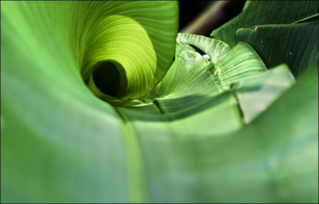 Twisted banana leaf Green wallpaper