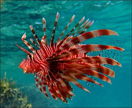 lionfish-underwater