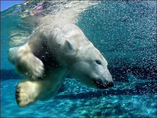 polar-bear-underwater[3]