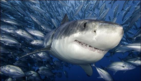 shark-fish-hunting