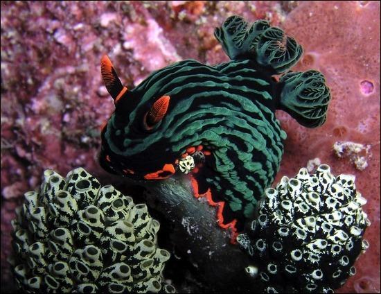 underwater-nudibranchia