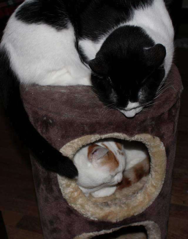 Taz and Winnie love the cat condo after a spritz of catnip spray.