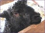 cute sheepy face