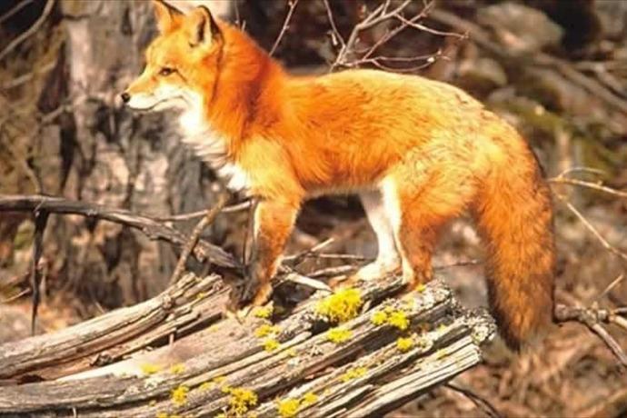 Red Fox_1926024739219852117