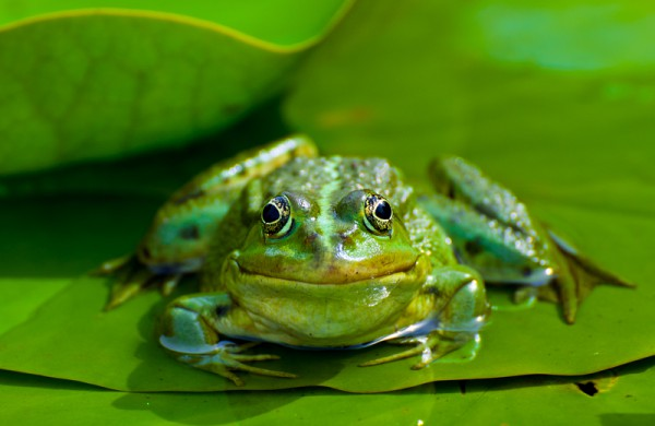 Frosch TriviART
