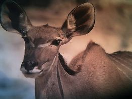 """500g  Wild-Biltong """"Kudu-Art"""", in Packungen zu je 100g 70,- €/Kg"""