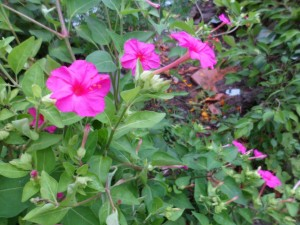 Hoa phấn e ấp sau tán lá