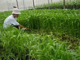 rau muống trồng an toàn