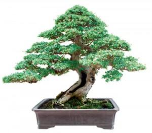 Tán cây gồm tán đỉnh hay tán ngọn và tán của cành hay tán bên