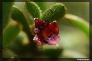 Trichotosia dalatensis