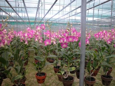 Chăm sóc lan Dendrobium