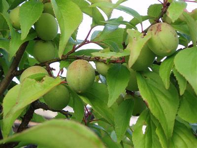 Trái cây Bạch mai ( Mơ) lúc còn xanh
