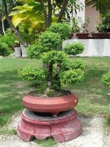 Ảng thường sử dụng cho cây cảnh nghệ thuật