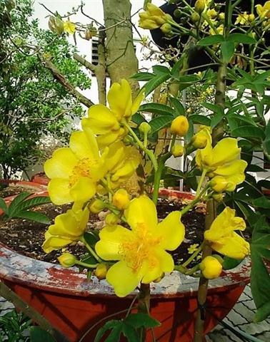 Huỳnh hoa đăng với sắc vàng đậm đà