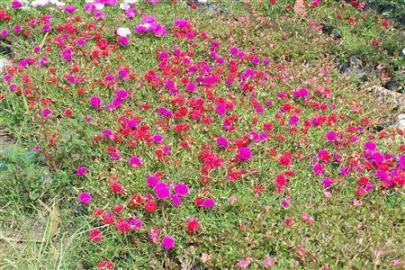 Thảm hoa mười giờ nở rộ luôn thu hút ánh mắt của mọi người