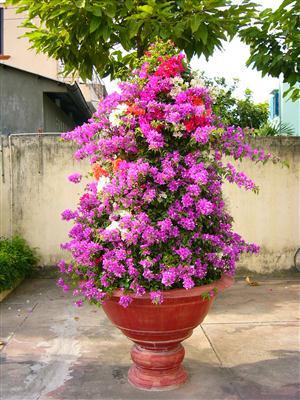 Hoa giấy ghép được nhiều người thích vì màu sắc rực rỡ