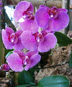 Cây lan thuộc loài Phalaenopsis là cây ưa bóng mát, lá rộng dễ mất nước nên cần tưới nhiều nước , nhưng tránh để đọng nước lại trên lá