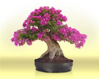 Hoa giấy trong tạo tác bonsai